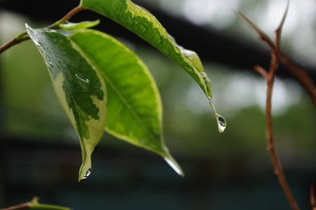 ficus: Raindrops on leaves of ficus