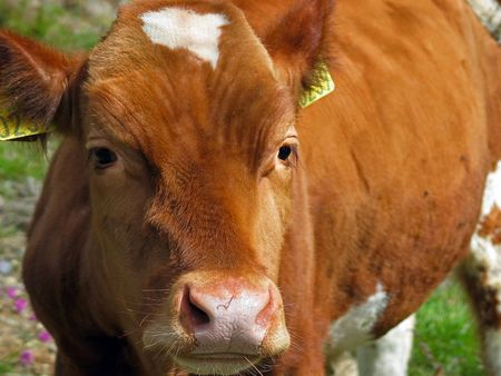 cow's nose closeup Stock Photo - 354107