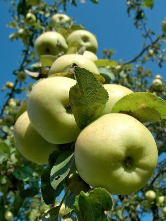 branch of an apple-tree with green apples