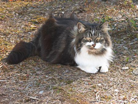 catlike: Siberian cat with yellow eyes