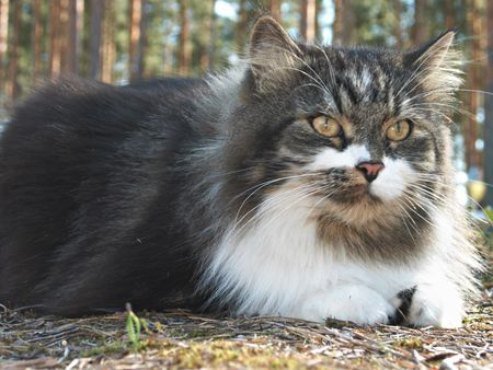 catlike: Siberian cat with calm expression