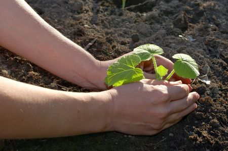 tending: garden work - planting hands closeup