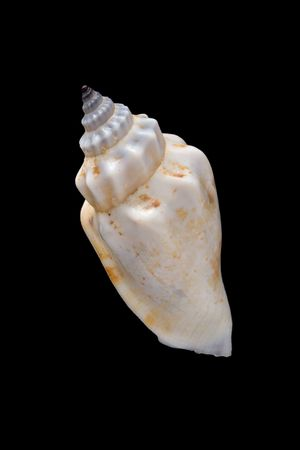 conch shell close-up isolated on black background photo