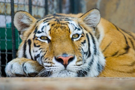 close-up portrait of the big tiger on stone wall background Stock Photo - 1686142