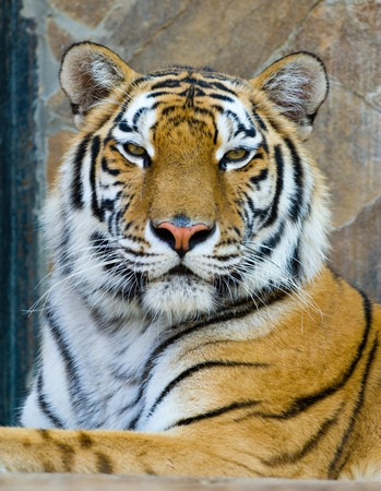 close-up portrait of the big tiger on stone wall background Stock Photo - 1686164