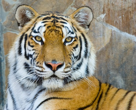 tiger: close-up portrait of the big tiger on stone wall background
