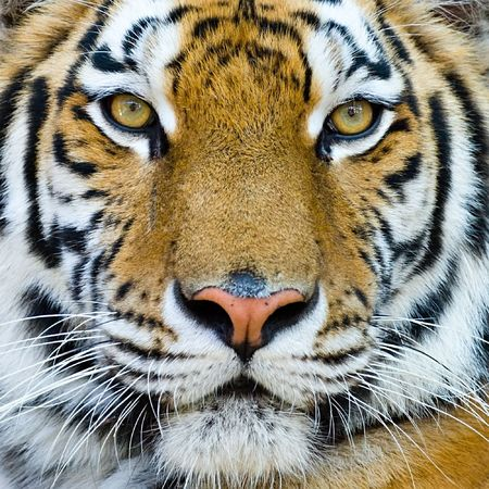 big head: close-up portrait of the big tiger on stone wall background