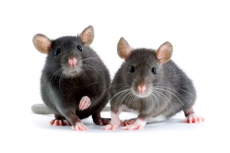 mouse animal: two little decorative rats on white background