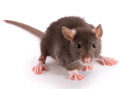rata: un poco aislado de rata decorativa sobre fondo blanco Foto de archivo