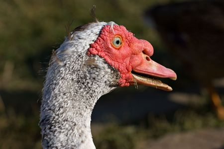 caruncle: close-up portrait of the muscovy duck (Cairina moschata)