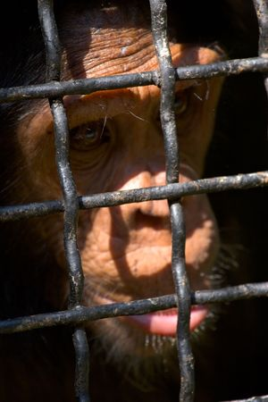sad face of chimpanzee behind rods of cage Stock Photo - 1894816