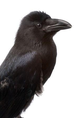cuervo: gran cuervo negro de cerca y de retrato sobre fondo blanco Foto de archivo