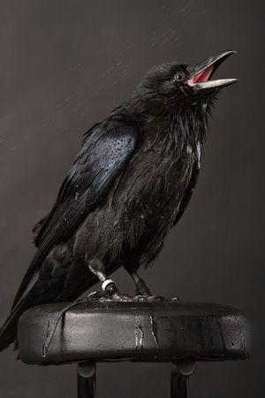 paranormal: big black raven close-up portrait on grey background Stock Photo