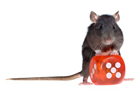 funny rat with red dice in paws isolated on white background photo