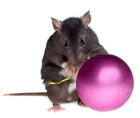 funny rat with Christmas ball in paws, isolated on white background photo