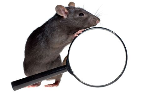 rat: funny rat and magnifying glass, isolated on white background Stock Photo