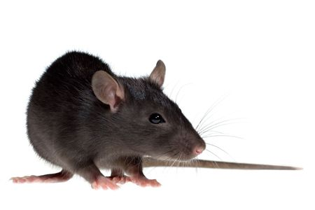 rata: gracioso rata cerca de aislados sobre fondo blanco