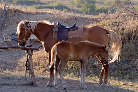 brown horse standing with its little foal photo