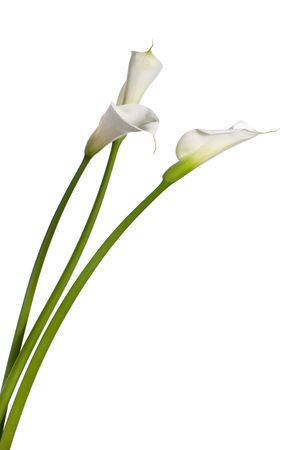 three calla lilies close-up, isolated on white background Stock Photo