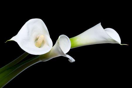 Calla drei Lilien Nahaufnahme, isoliert auf schwarzem Hintergrund  Standard-Bild - 3180206