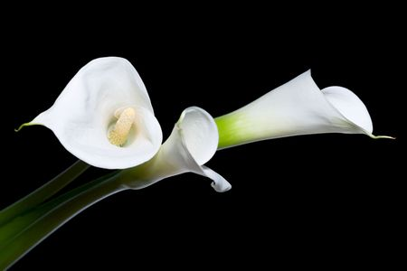 three calla lilies close-up, isolated on black background Stock Photo - 3180206