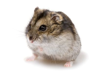 dwarf hamster close-up, isolated on white background
