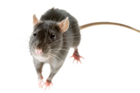 small funny grey decorative rat isolated on white Stock Photo - 3214671