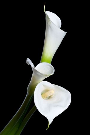 three calla lilies close-up, isolated on black background Stock Photo