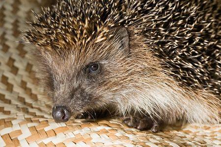 snout: hedgehogs snout close-up