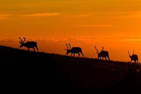 black deers silhouettes on orange sunset sky background