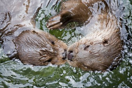 two otters swimming face to face in water closeup Stock Photo