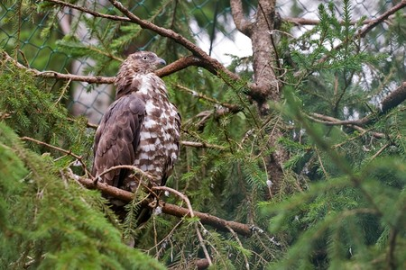 brown hawk sits on a tree among branches Stock Photo - 4211306