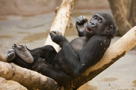 playful monkey sits on  tree and eats nuts Stock Photo