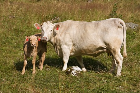 cow and calf stand on  meadow and look in a camera photo