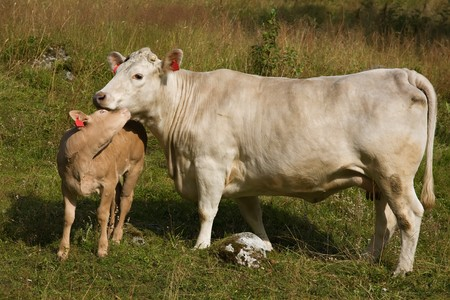 gently:  calf gently snuggled up to the cow on the green field
