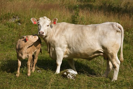 little calf kisses a cow, a cow looks in a camera photo