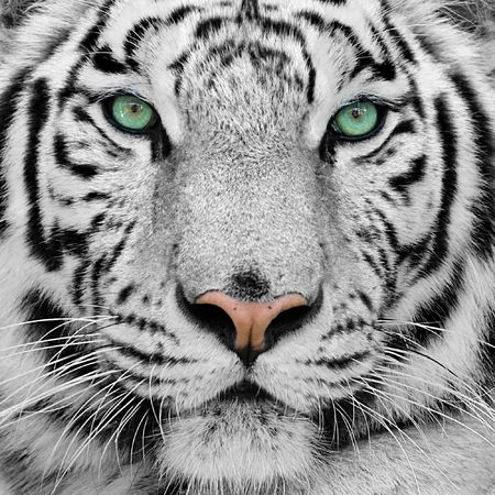 big white tiger close-up portrait Stock Photo