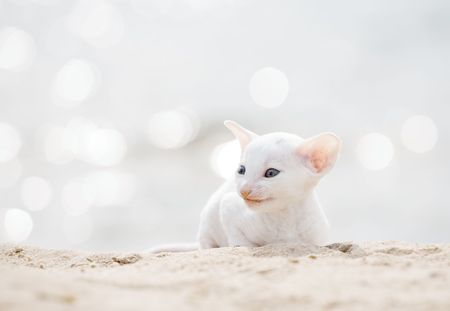 cornish: white cornish rex kitten on sand beach Stock Photo