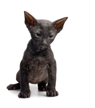 sad black cornish rex kitten isolated on white Stock Photo - 5498856