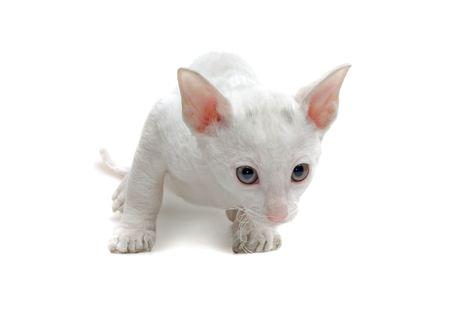 white cornish rex kitten isolated on white photo