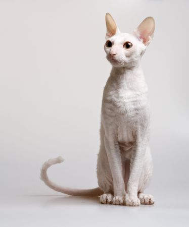 beautiful white cat of cornish rex breed sitting on white background