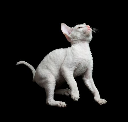 white playful cornish rex kitten isolated on black Stock Photo - 5498834
