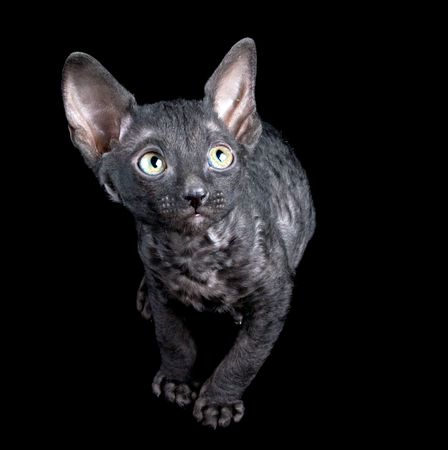 black playful kitten isolated on black photo