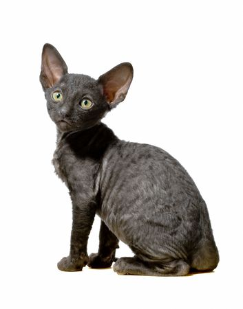 black cornish rex kitten sitting in profile isolated on white Stock Photo - 5498839