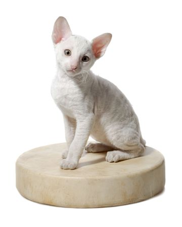 sitting kitten of cornish rex breed isolated on white Stock Photo - 5498845