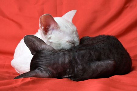 white and black cornish rex kittens sleeping on red silk Stock Photo - 5498844