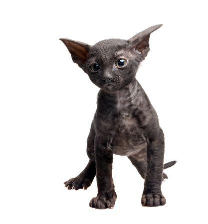 black cornish rex kitten isolated on white Stock Photo - 5498848