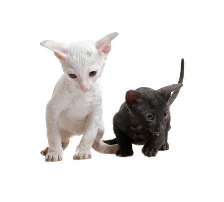 white and black cornish rex kittens isolated on white Stock Photo - 5498851