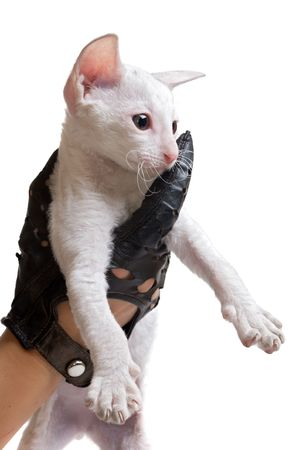 white kitten in hand in black leather glove isolated on white Stock Photo - 5498850