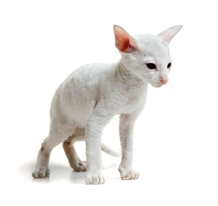 white little cornish rex kitten standing on four paws isolated on white Stock Photo - 5498886